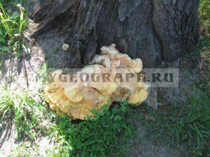 Древесный гриб