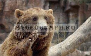 Бурый мдведь