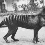 Сумчатый волк, 1933. Полностью вымерший вид