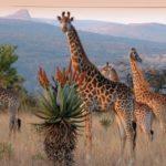 Giraffes08976